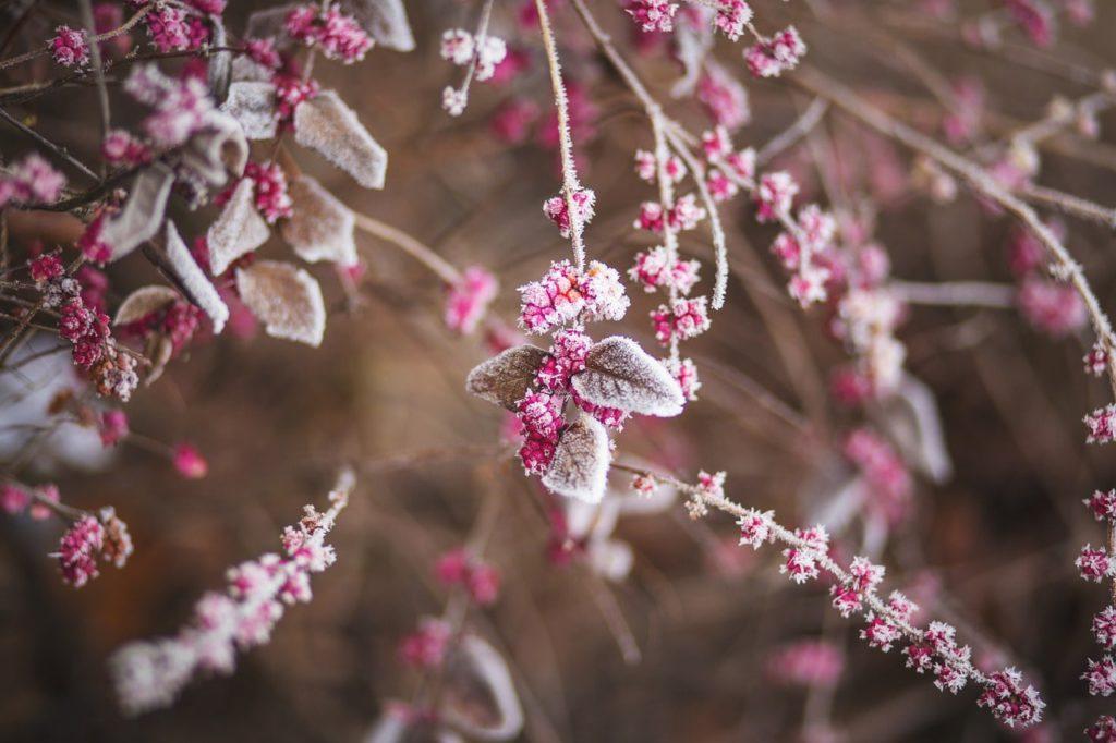 Как подготовить кусты малины к зиме